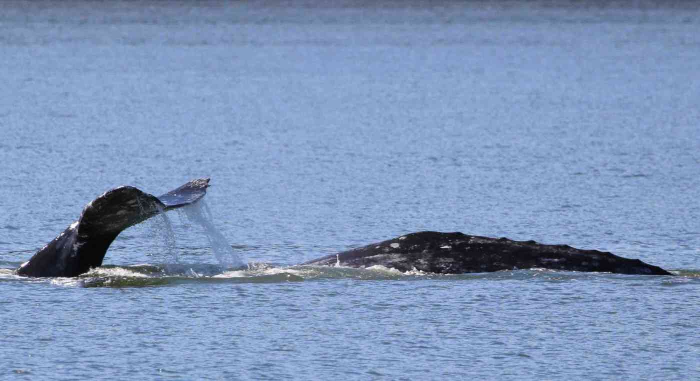 Seattle Whale Watching Gray Whales