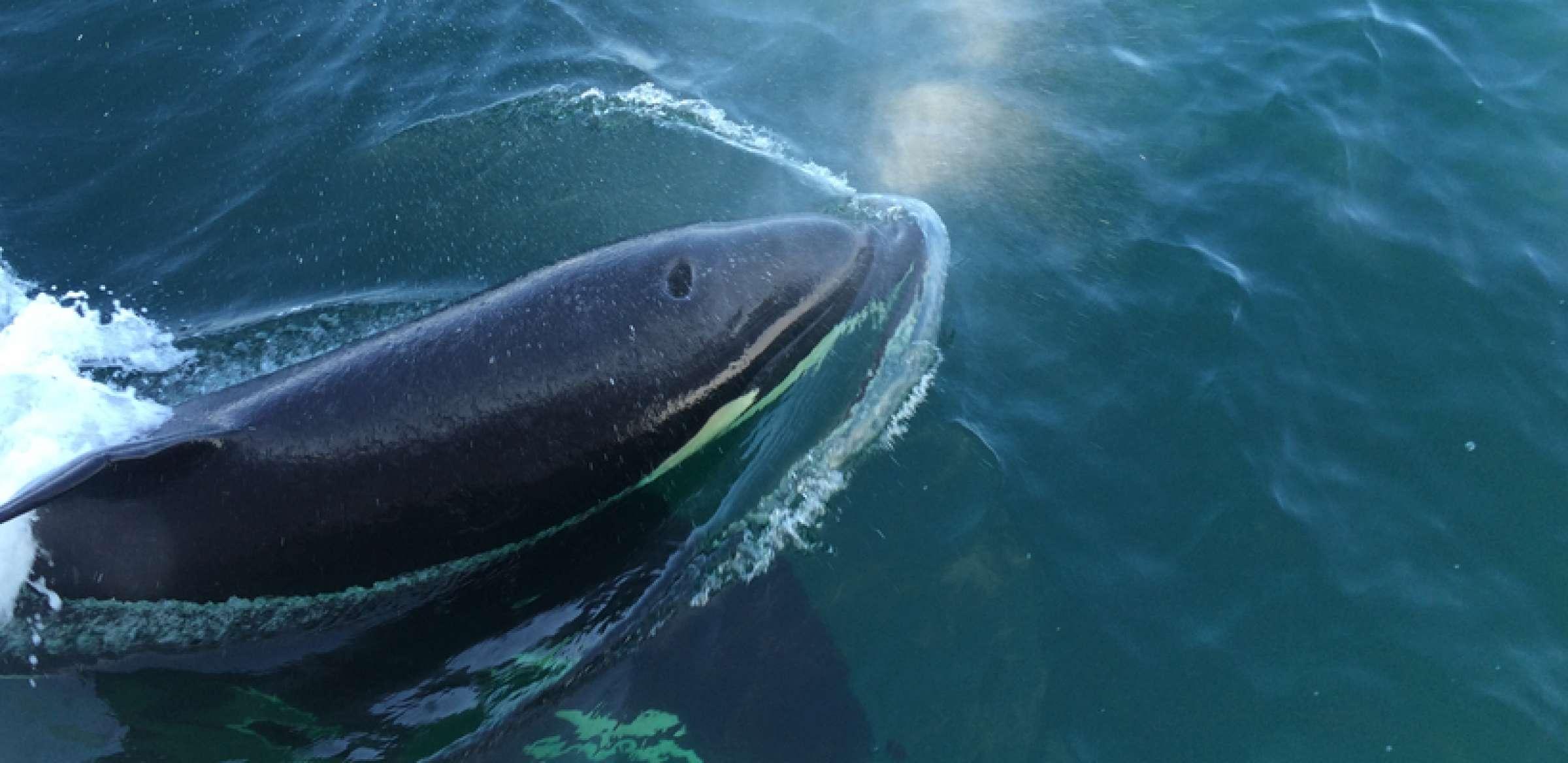 Orca 11