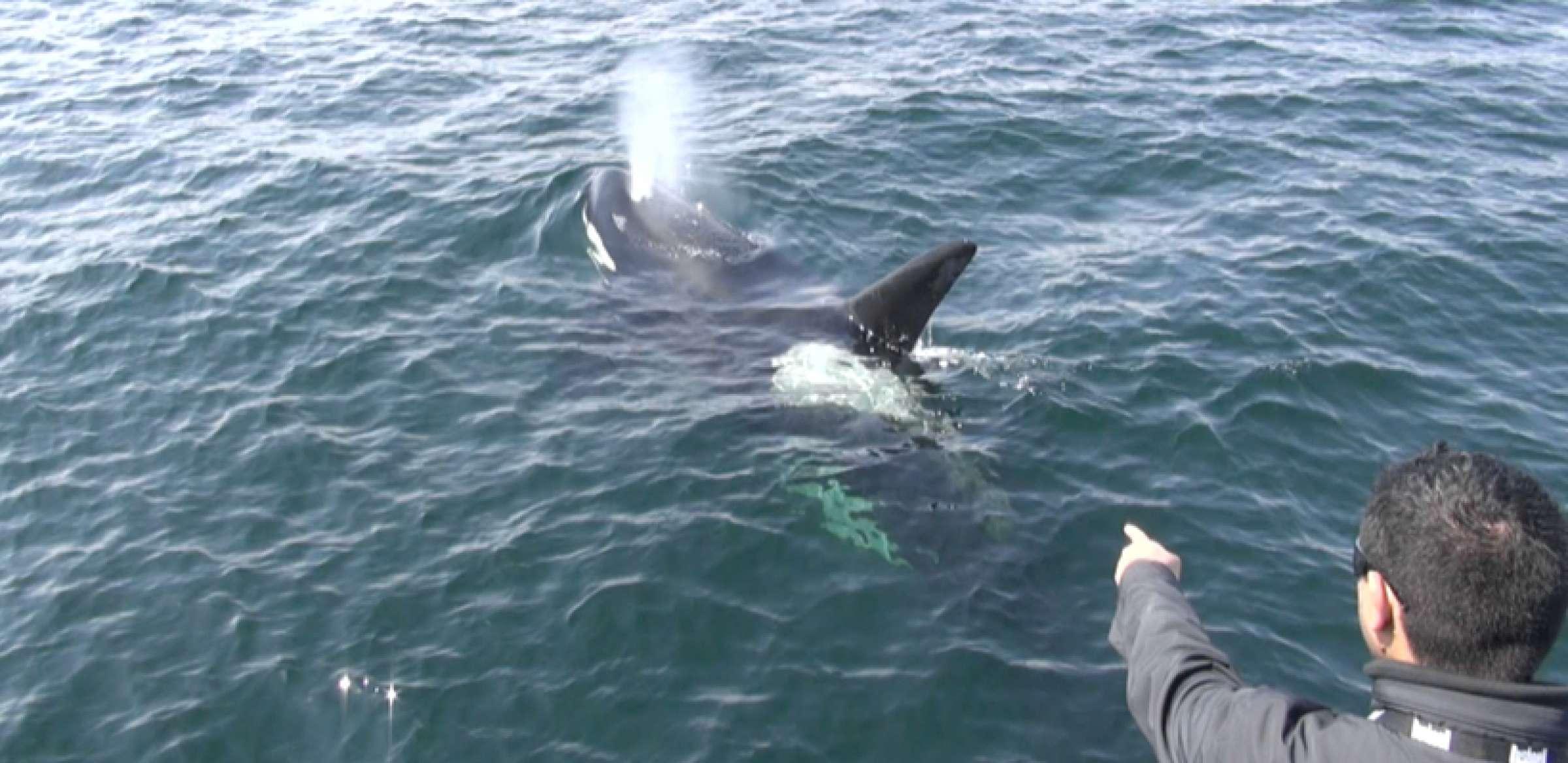Orca 15