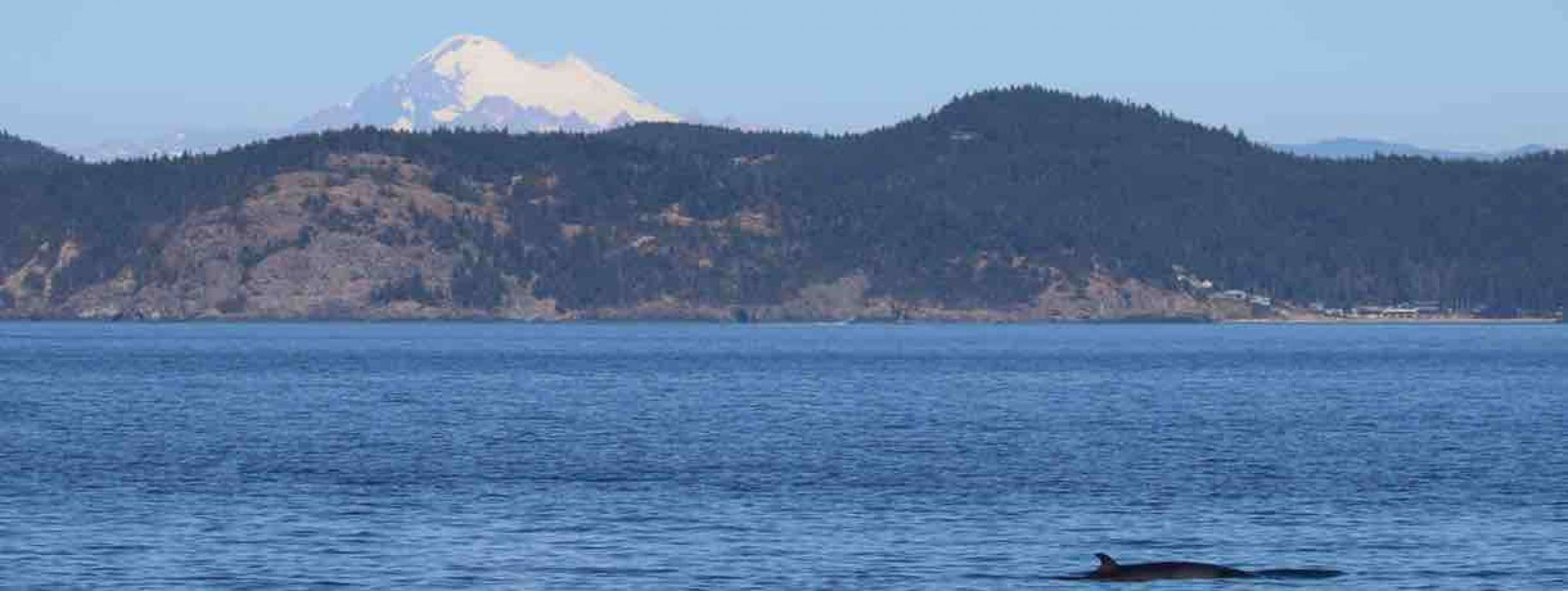San Juan Islands Whale Watching Minke Whales
