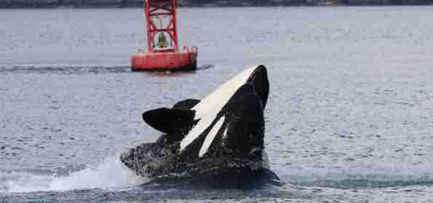 Port Angeles Whale Watching Killer Whales