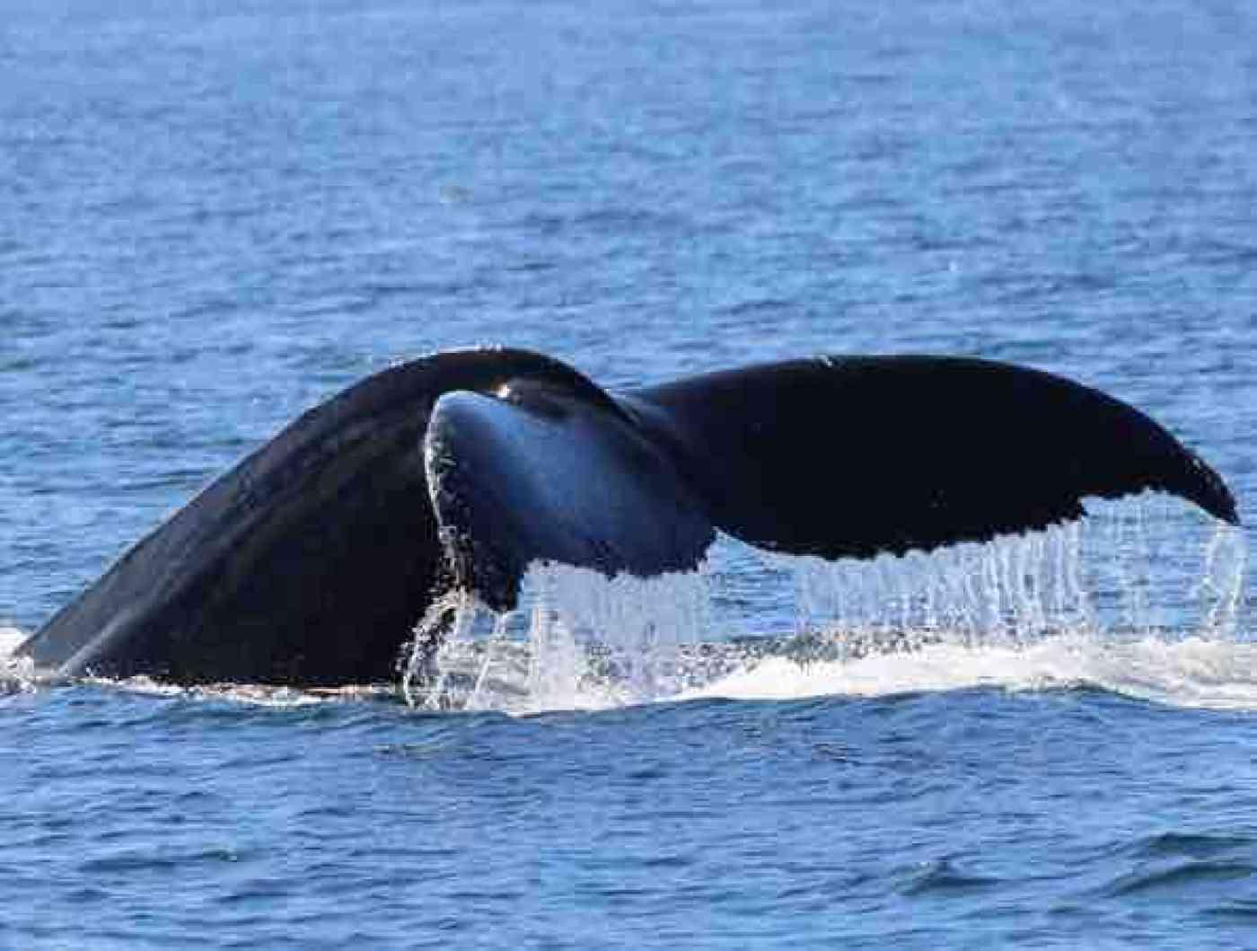 San Juan Islands Whale Watching Humpback Whales