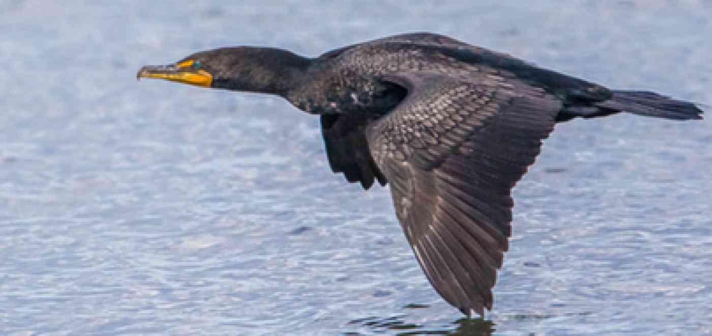 Pnw Wildlife Cormorant