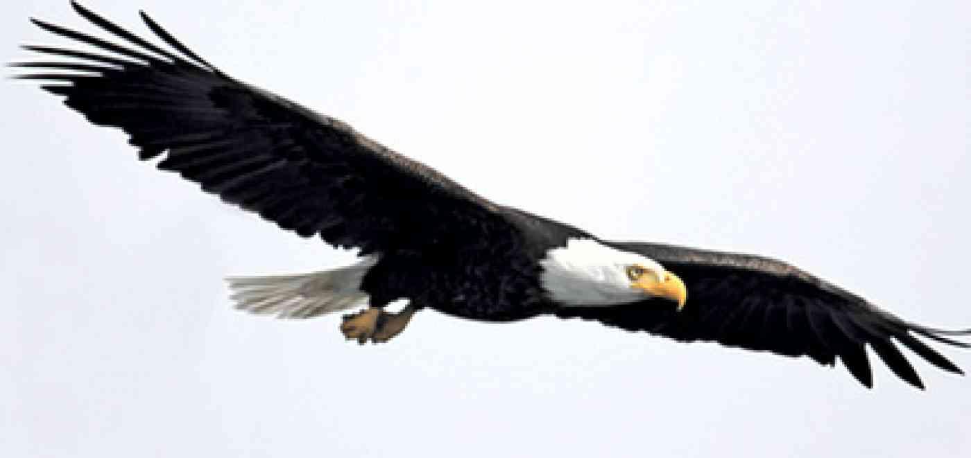 Pnw Wildlife Eagle