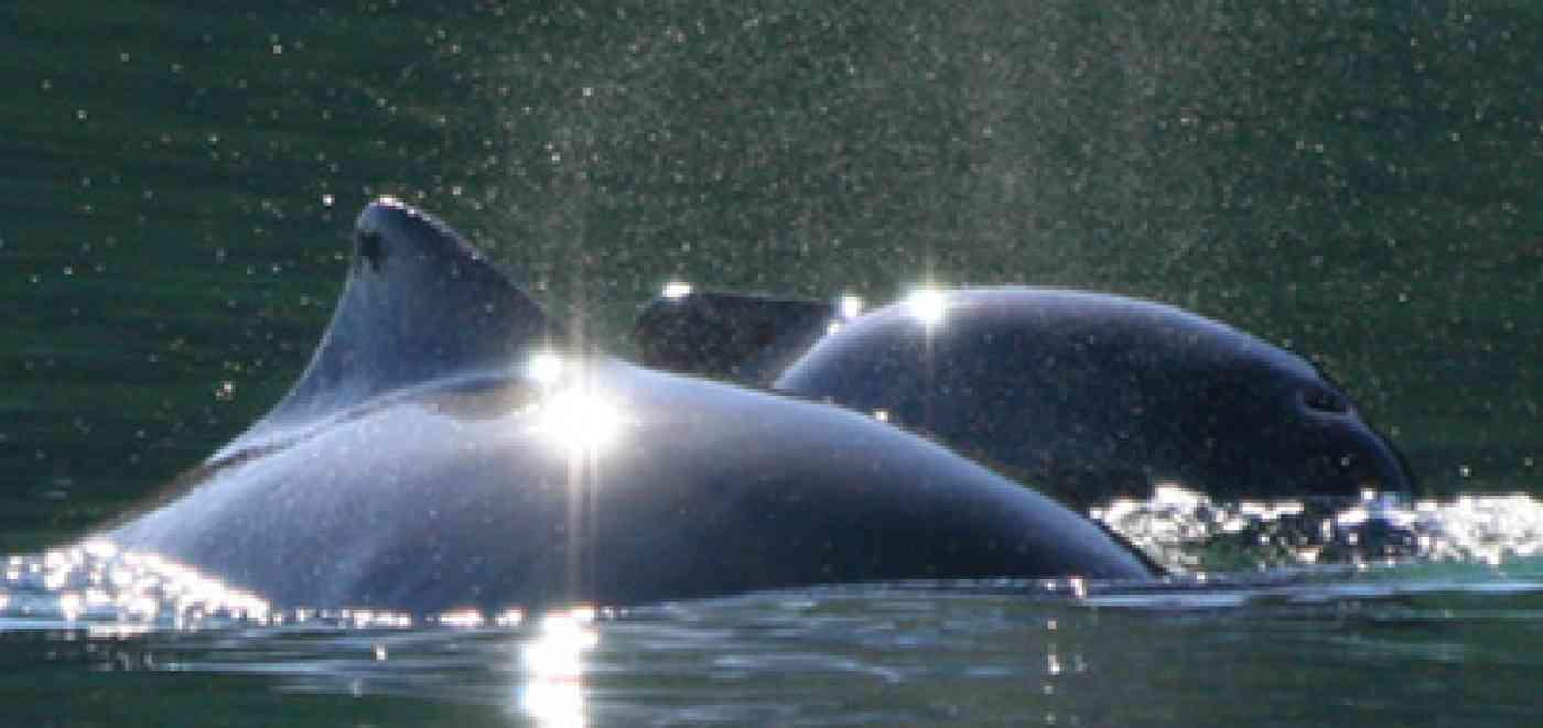 Pnw Wildlife Porpoise