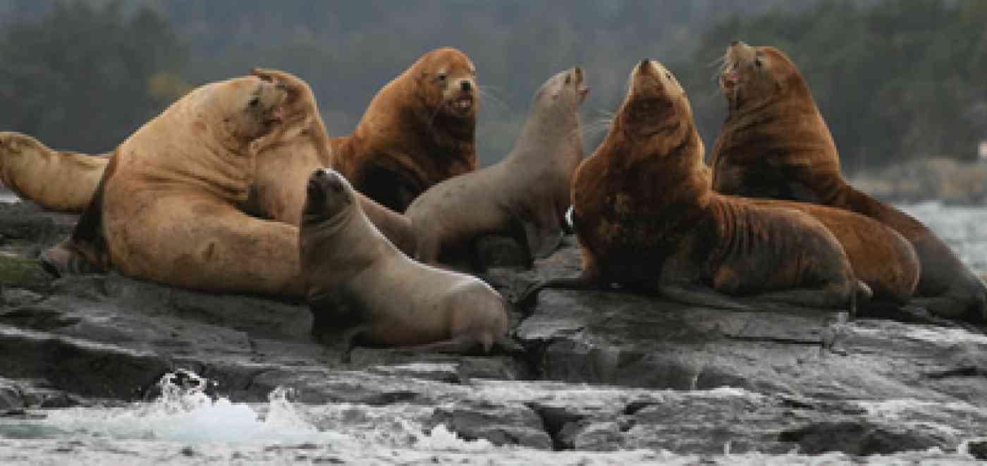 Pnw Wildlife Sea Lion