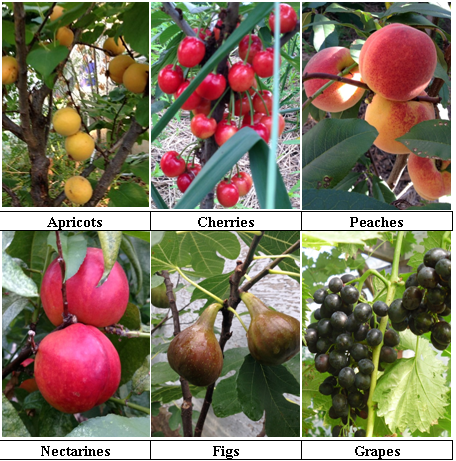 All these fruits have been grown in the province of Quebec Canada in climate zone 4