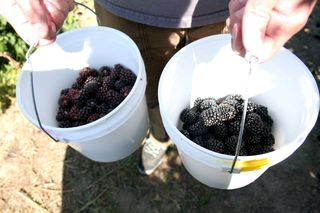 Berries 039