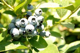 Berries 010