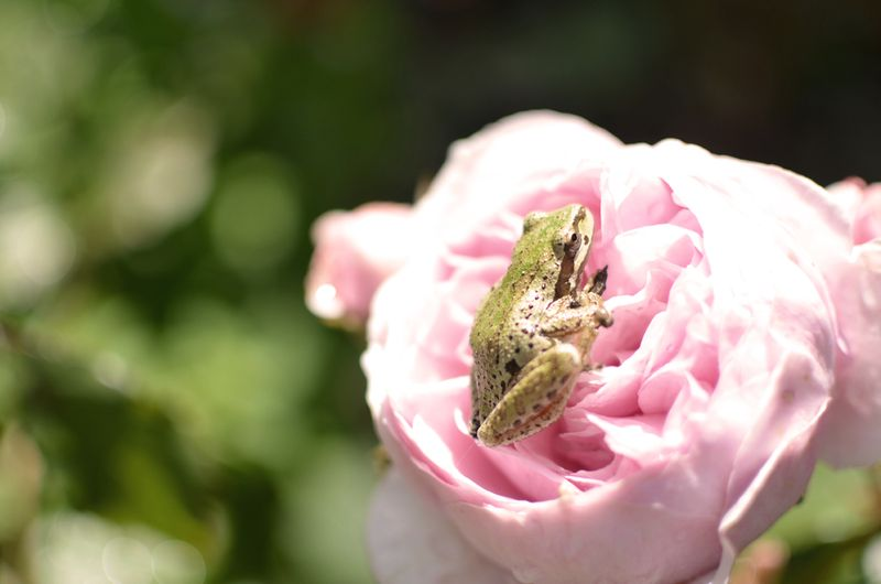 Frogroseweb