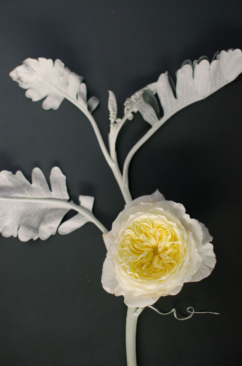 Rose-vine