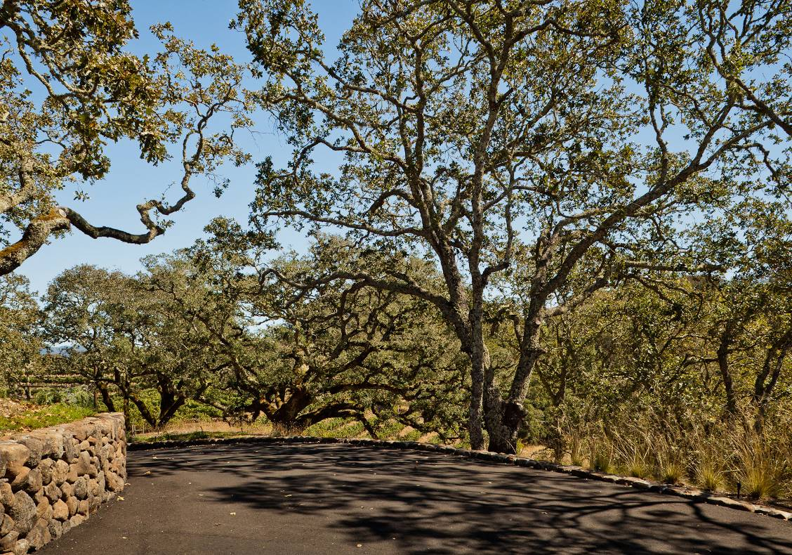 A winding country road through overhanging live oak trees and vineyards leads to the house.