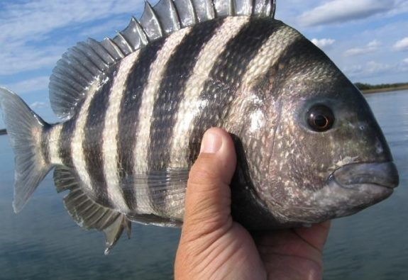 Fish Archives - Town of Kiawah Island Are Saltwater Sheepshead Fish Good To Eat