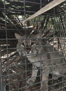 Bobcat 5