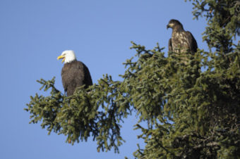 An adult eagle and immature eagle perch in a tree. (Photo courtesy Skip Gray)
