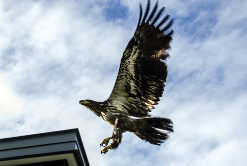 Aquila quickly takes flight over the Juneau Police Station.
