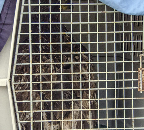 Aquila waits to be released. The juvenile bald eagle had one of the fasted turnarounds volunteers at the Juneau Raptor Center said they had ever seen.