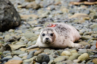 Picabo is a young female harbor seal. She was rescued on the dock at Allen Marine in May. The young pup was born premature and was abandoned. Rehabilitated at the Alaska SeaLife Center, she was released back into the wild on Aug. 14 in Juneau.