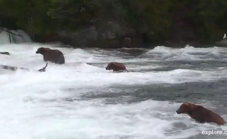 Live Cams were installed at the famous Katmai Falls to livestream 24 hour footage of the bears of Katmai online. The project is the culmination of a long running effort to share Katmai with the world. (Screengrab from explore.org)