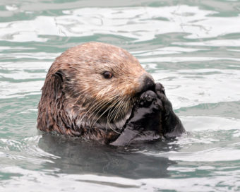 A sea otter in Resurrection Bay.