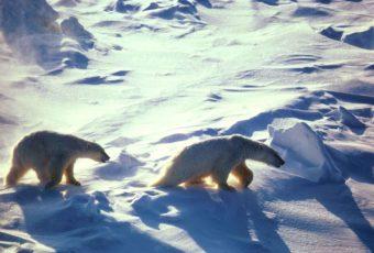 Polar Bears (Photo by Atwell Gerry, U.S. Fish and Wildlife Service)
