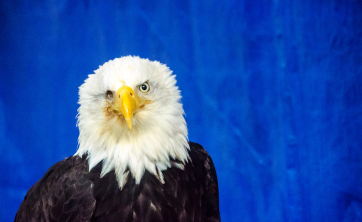 Photo of a bald eagle named Justice lost his eye during a fight with another bald eagle.
