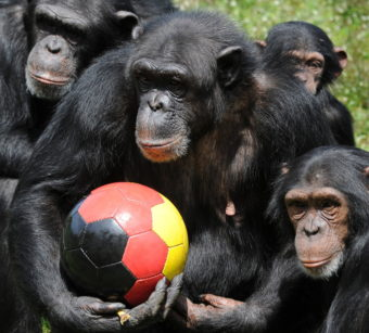 Chimpanzees are political animals who understand shared power and the benefits that flow from reconciliation. Peter Steffen/AFP/Getty Images