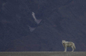 Alaska Wolf
