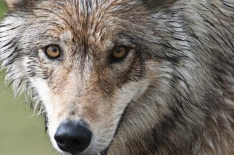 A Denali wolf. (National Park Service photo/ Tim Rains)