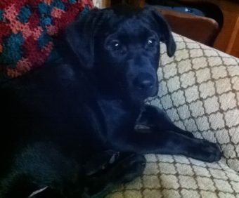 This mixed black lab puppy went missing this morning, Dec. 31, 2013. The male 16-week-old dog was last seen off Back Loop Road. He is not wearing a collar. (Photo courtesy of Mary Bresel)