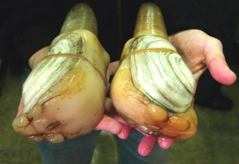 Geoducks are the largest burrowing clam in the world and can also live more than 100 years. (Photo courtesy USDA)