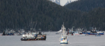 Seiners in Starrigavan Bay during the first opening of Sitka's 2014 sac roe herring fishery. (Photo by Rachel Waldholz/KCAW)