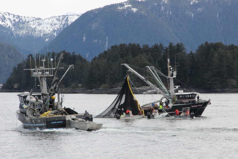 The seiner Infinite Grace pursing up during the third opening in the Sitka Sound sac roe herring fishery, on Wednesday, March 26, 2014 (Photo by Rachel Waldholz/KCAW)