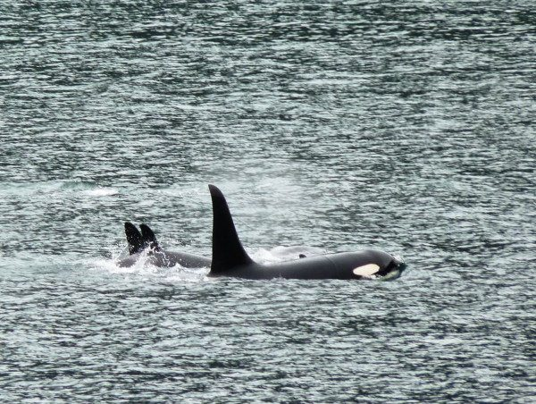 Three members of an orca pod surface in Gastineau Channel Thursday afternoon. (Ed Schoenfeld/CoastAlaska News)