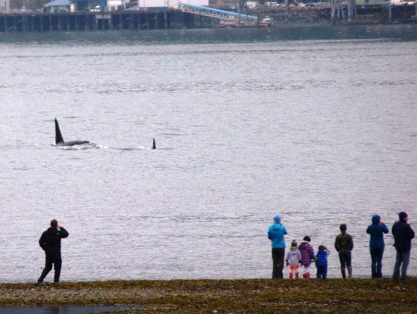 Families watch an orca pod from the tidal flats below First Street in Douglas Thursday afternoon. (Ed Schoenfeld/CoastAlaska News)