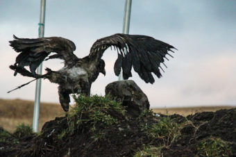 A burnt eagle spreads its wings. (Photo courtesy Susie Silook, wife of Keith Hamilton)