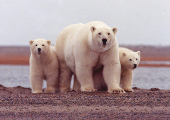 A polar bear mother watches carefully with her cubs along her side along the Beaufort Sea. (Photo courtesy USFWS)