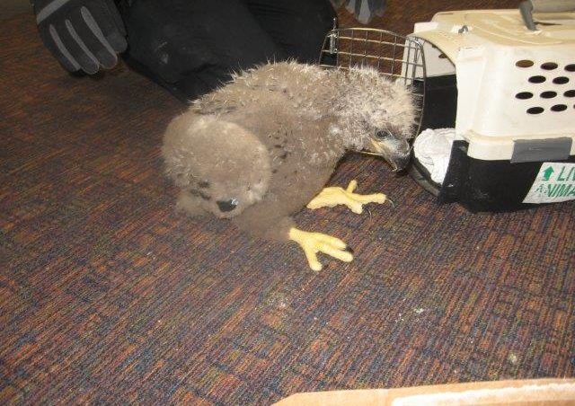Caretakes hope to return the baby eagle, or eaglet, to the wild. (Photo courtesy Bird TLC in Anchorage)