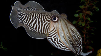 A cuttlefish gazes at a camera in the Smithsonian's National Zoo Invertebrate Exhibit. The exhibit, home to dozens of small aquatic and terrestrial species without backbones, closed Sunday. Meghan Murphy/Smithsonian's National Zoo