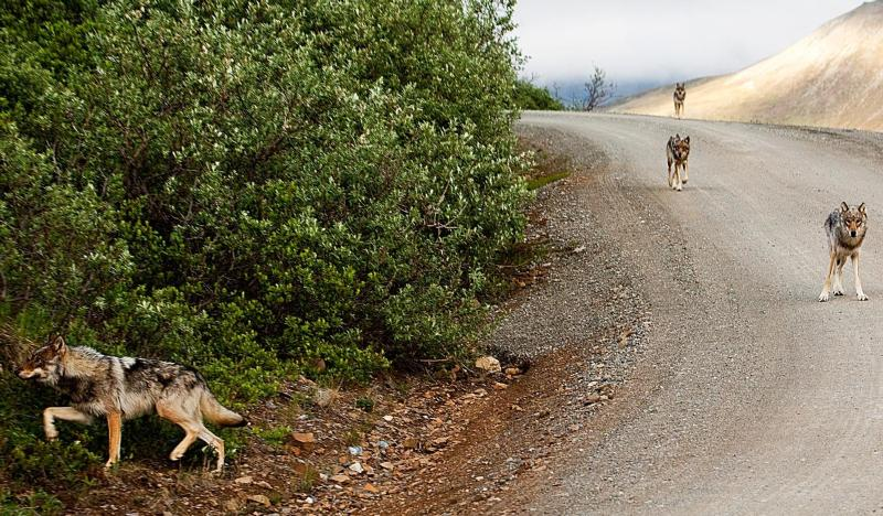 Wolves on the Denali Park Road. (Photo by NPS Photo / Nathan Kostegian)