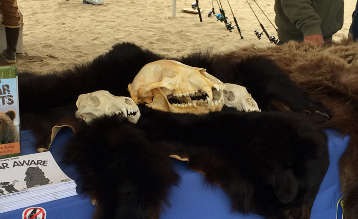 The Department of Fish and Game had a display of bear pelts and skulls. (Photo by Sarah Yu/KTOO)