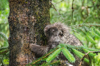 Much of the area around the bear viewing platform was under at least two feet of water this evening. This porcupine headed up a tree across from the platforms. (Photo by Heather Bryant/KTOO)