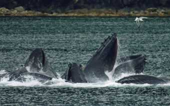 Humpback whales in North Pass between Lincoln Island and Shelter Island in the Lynn Canal north of Juneau. (Creative Commons Photo by Evadb)