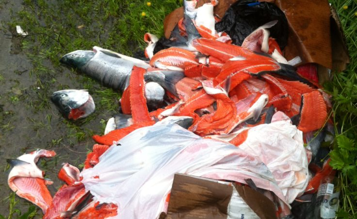 Biologists found the fish carcasses at the end of Valley Boulevard near the Under Thunder trail. (Photo courtesy Alaska Department of Fish and Game)