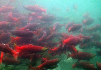 A new report says salmon, including sockeye, shown here, could have habitat disrupted by new rainfall and snow patterns caused by climate change. (Photo by Katrina Mueller/USFWS)