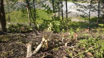 Trees cut near Savikko Park