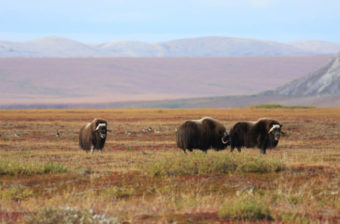 Musk ox grazing on the tundra by the Cape Krusenstern National Monument. (Photo by Doug Demarest/ National Park Service)
