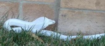Authorities are hunting for this albino cobra in a Los Angeles suburb. County of Los Angeles Animal Care and Control