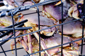 Dungeness crab. (Creative Commons Photo by Andy Clordia)