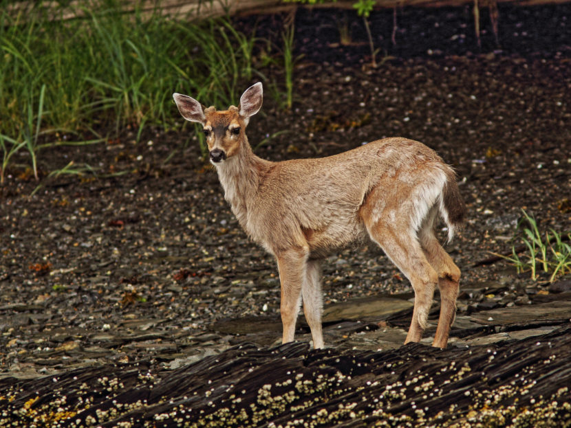 A Sitka black tailed deer in June 2014.